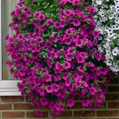 6 Trailing Surfinia Purple