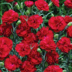 6 Dianthus Passion