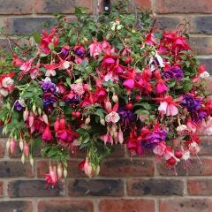 Trailing Fuchsia Mixed