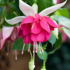 6 Fuchsia Seventh Heaven