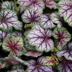 3 Heuchera Green Spice
