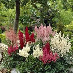 Astilbe Collection