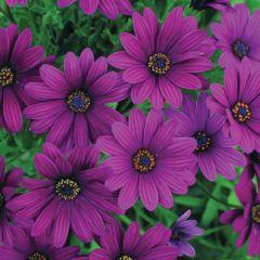 6 Osteospermum Serenity Purple