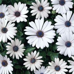 6 Osteospermum Serenity White