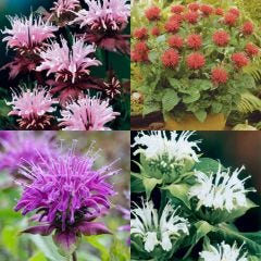 Monarda Collection