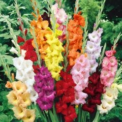 Gladioli Large Flowering Mixed 10/12cm