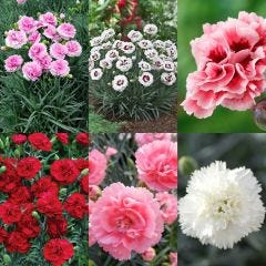 24 Fragrant Dianthus Scent First Collection