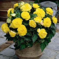 3 Non Stop Begonia Yellow