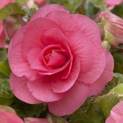 3 Non Stop Begonia Pink