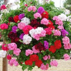 Trailing Double Geraniums Mixed