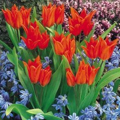 Tulip Praestans van Tubergens