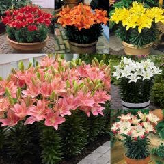30 Short Stemmed Patio Lily Collection