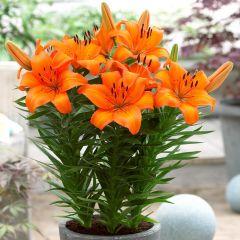 5 Lily Victory Joy
