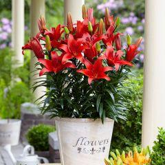5 Lily Blushing Joy