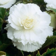 5 Begonia Double White