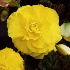 5 Begonia Double Yellow