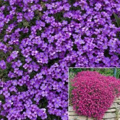 24 Aubrieta Cascade Collection