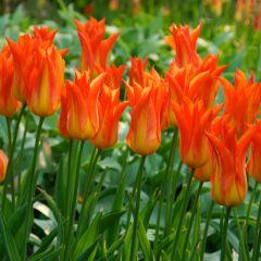 10 Tulip Flutes on Fire