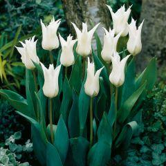 10 Tulip Tres Chic