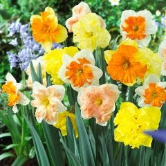 Orchid Daffodils Mixed