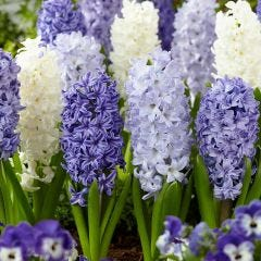 Hyacinth Fragrant Sea Mixed