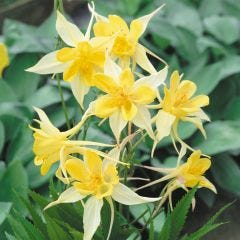 6 Aquilegia Yellow Star