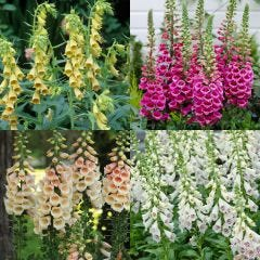 24 Hardy Digitalis Collection
