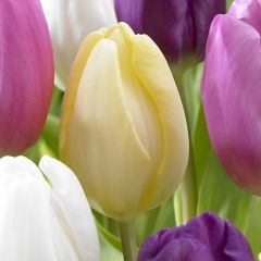 10 Tulip Cream Flag