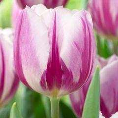 10 Tulip Flaming Flag