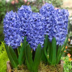 5 Hyacinth Delft Blue