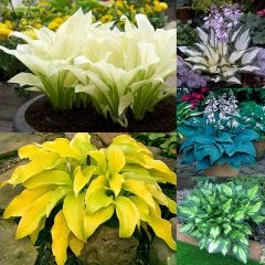 5 Designer Hosta Collection