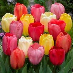 Darwin Tulips Mixed