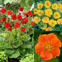 18 Hardy Geum Collection