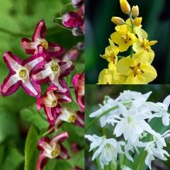 3 Epimedium Collection