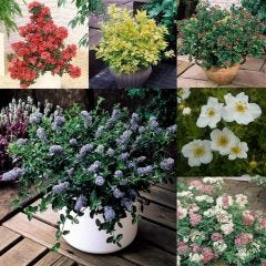 6 Dwarf Flowering Shrub Collection
