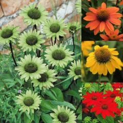 4 Echinacea Collection