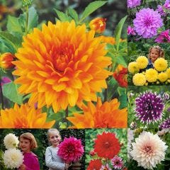 8 Dinner Plate Dahlia Collection