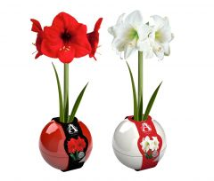 Red & White Indoor Christmas Amaryllis