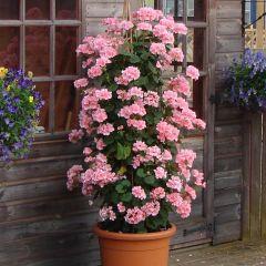 6 Geranium Antik Pink