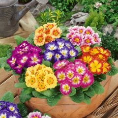 Primula Colour Carnival