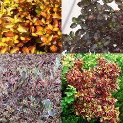 4 Coprosma Collection