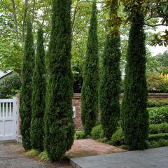 Italian Cypress Tree (Cupressus Totem)