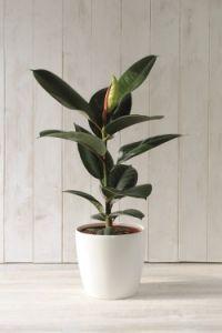 Ficus Elastica 'Robusta' House Plant