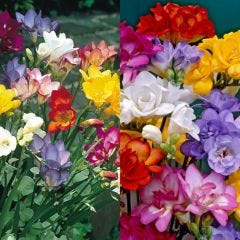 100 Freesia Mixed Collection