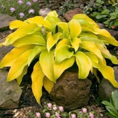 2 Hosta Lakeside Cha Cha