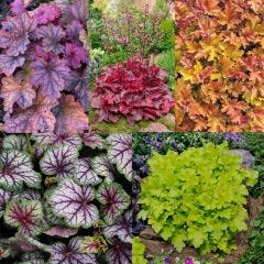 Luxury Heuchera Collection