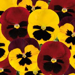 Pansy Autumn Blaze Mixed
