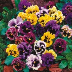 Pansy Can Can Mixed