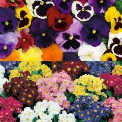 90 Polyanthus/Pansy collection