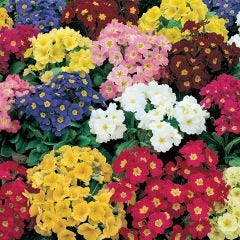 Polyanthus Crescendo Mixed